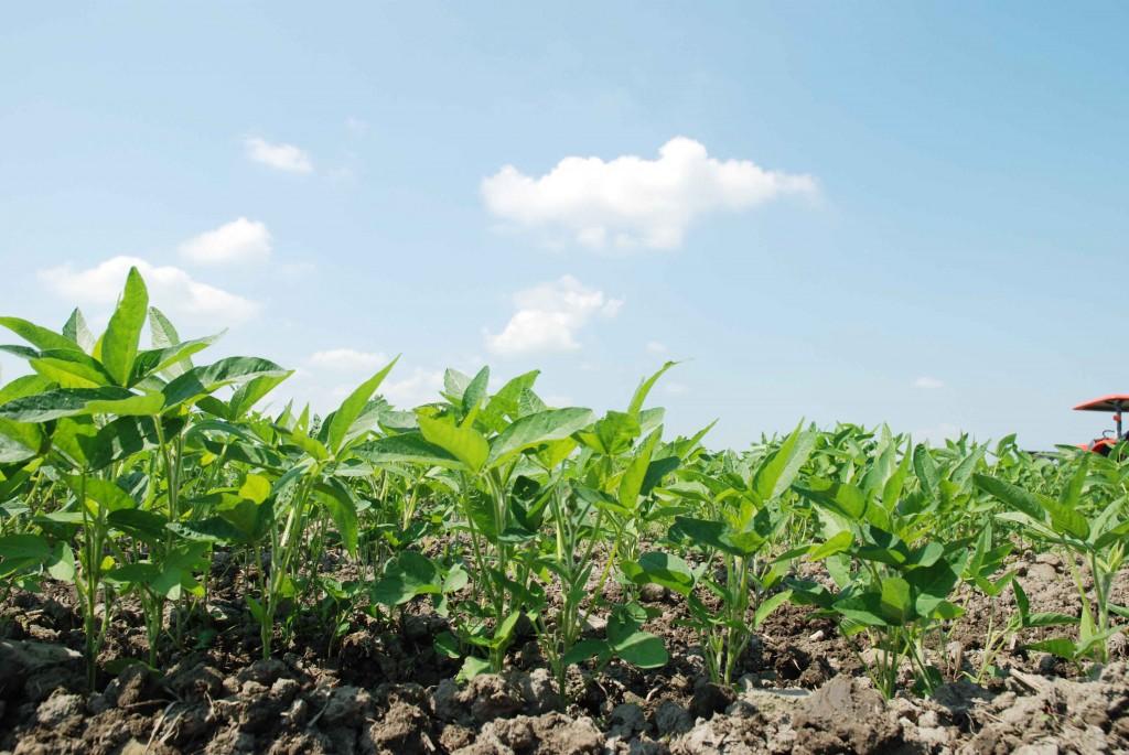 太陽の光を浴びて、勢いよく育つ大豆