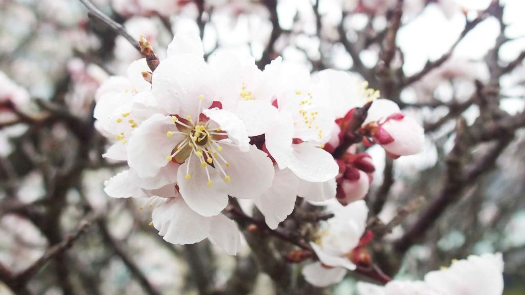 庭の桜。イベント中は、ライトアップされ幻想的な桜が楽しめる