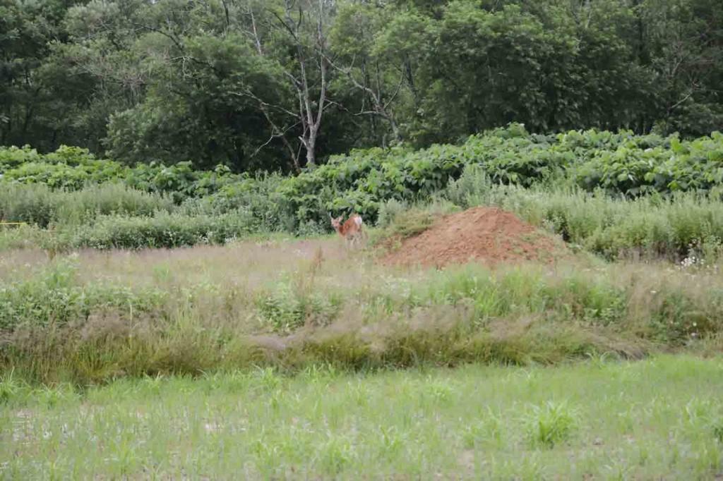 畑に現れた鹿。草を食む